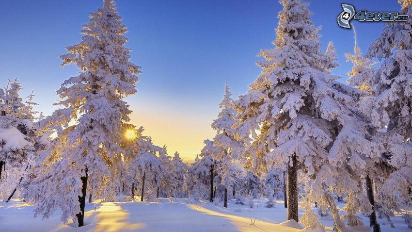 snöklädda träd, solnedgång