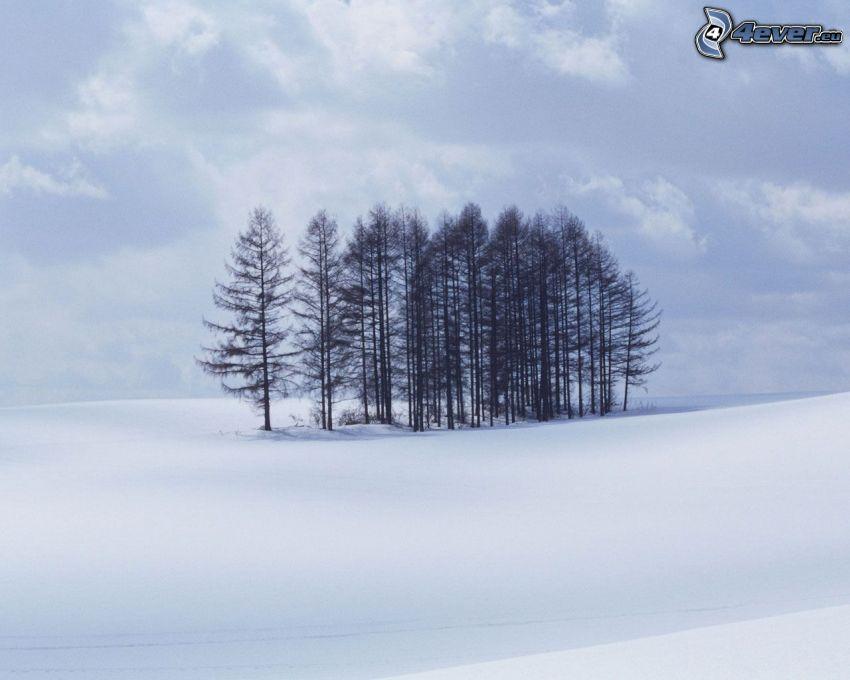snötäckt barrskog, åker, snö