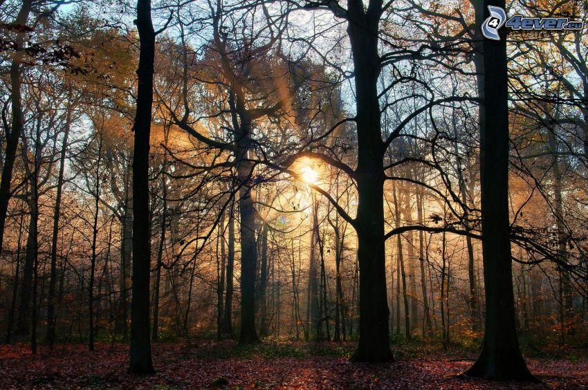 solnedgång i skogen, siluetter av träd, trädstammar, solstrålar, färggranna blad, höst
