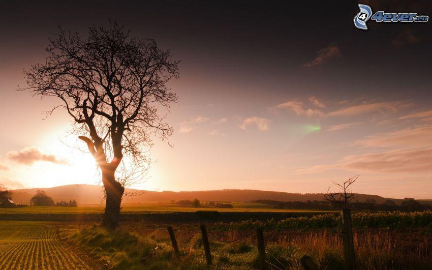 solnedgång över fält, ensamt träd