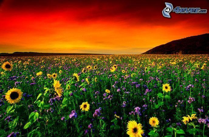 solrosfält, röd solnedgång, blommor