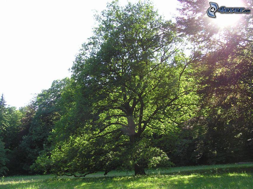 spretigt träd, träd på äng, träd, natur, grönska