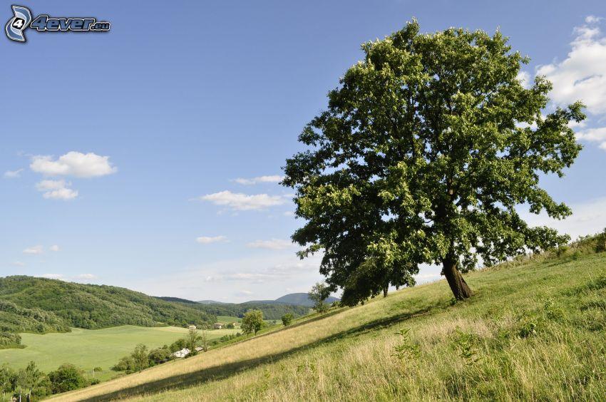 träd på äng, spretigt träd, ensamt träd, utsikt