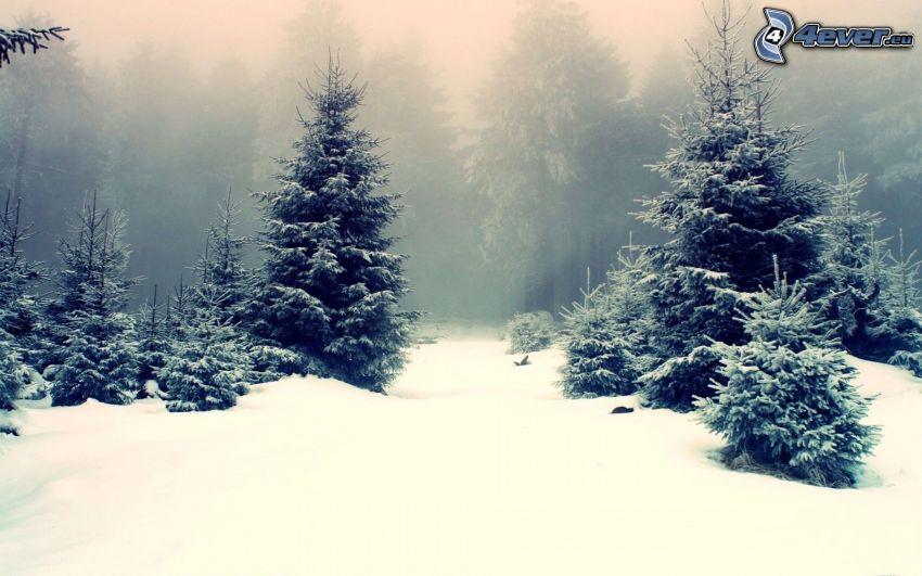 vinterlandskap, barrträd, snö