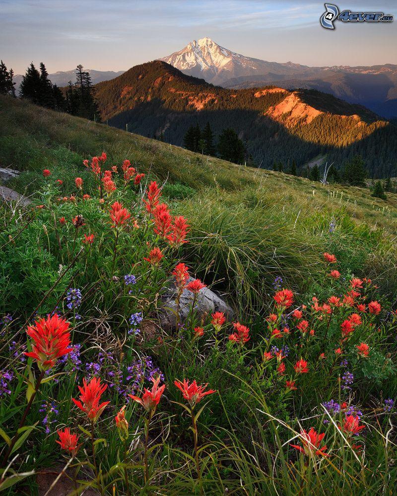 Willamette National Forest, vilda blommor, berg