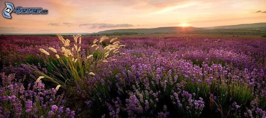 lavendelfält, lila blommor, soluppgång