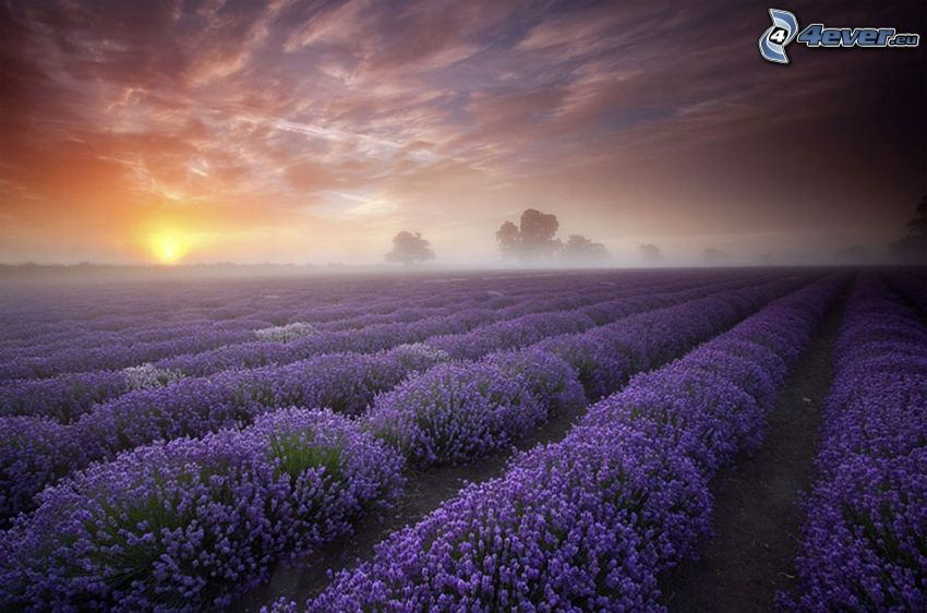 lavendelfält, solnedgång bakom fält, kvällshimmel
