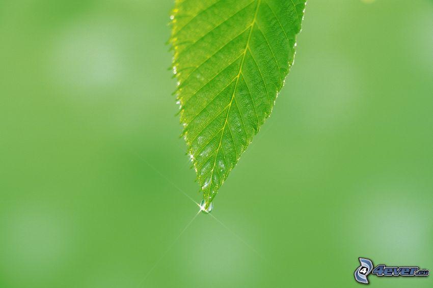 löv, vattendroppe
