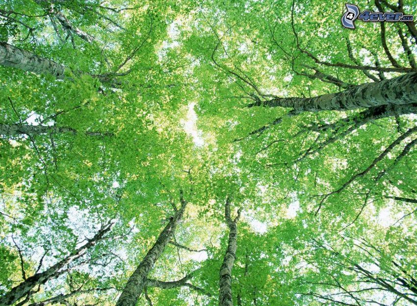 lövträd, trädtoppar