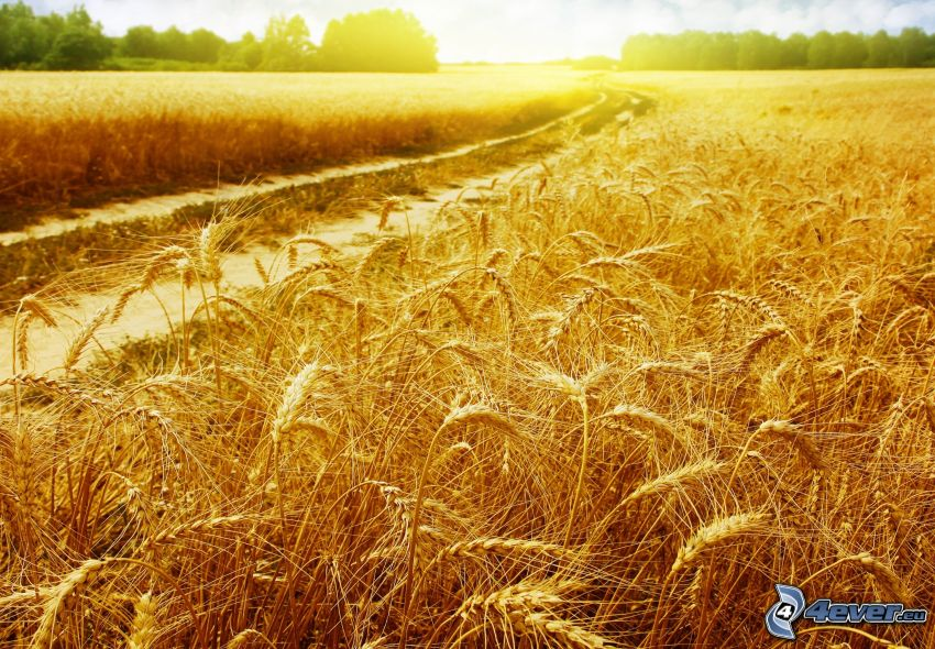 moget vetefält, fältstig, solnedgång över fält