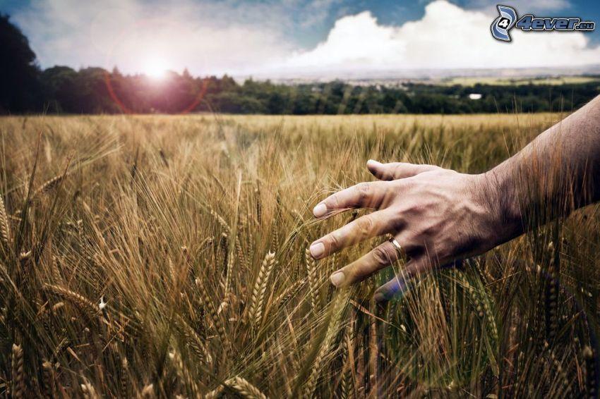 moget vetefält, hand, ring
