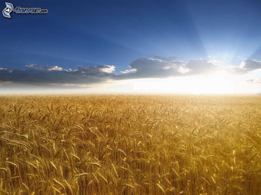 moget vetefält, solnedgång bakom fält, moln