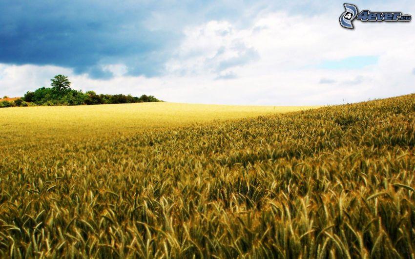 moget vetefält