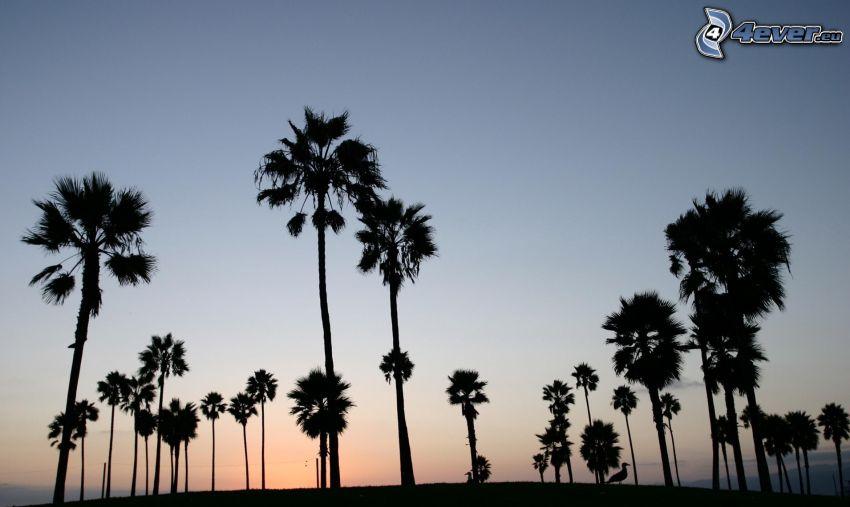 palmer, siluetter, kväll