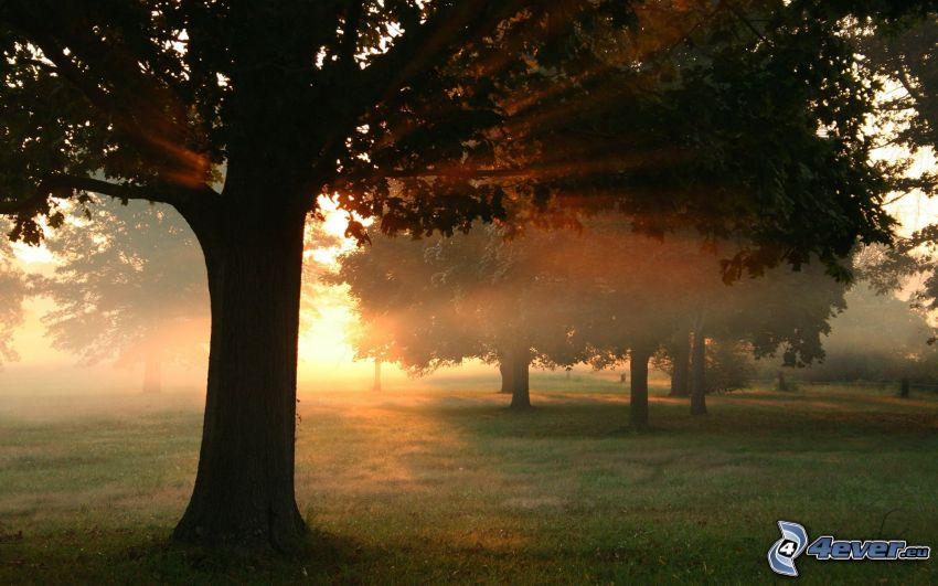 park, solstrålar, träd