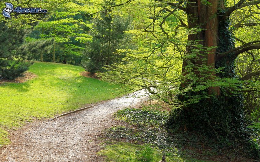 park, stort träd, trottoar, träd