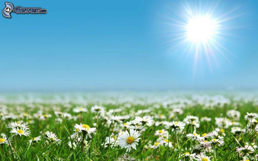 prästkragar, sol