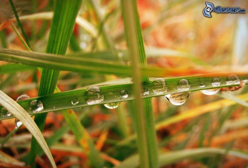 regndroppar, grässtrå