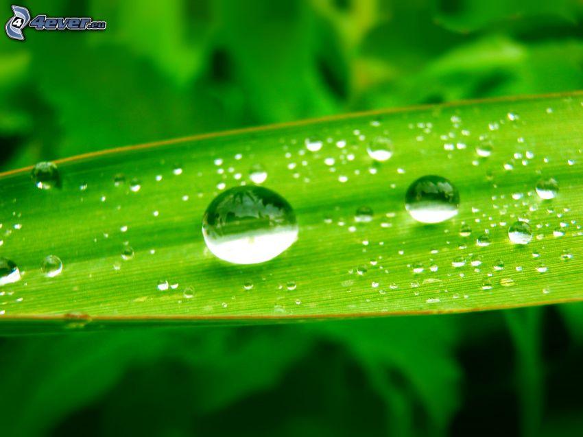 regndroppar, grönt blad