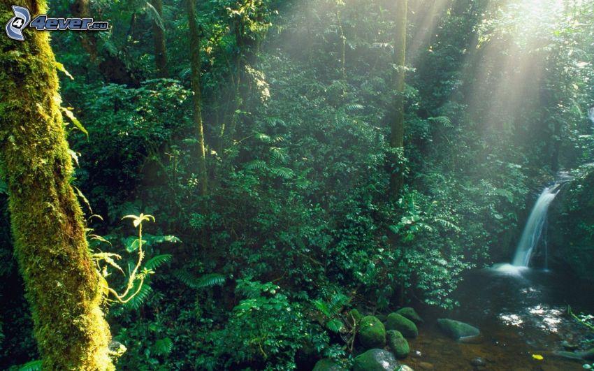 regnskog, solstrålar, bäck