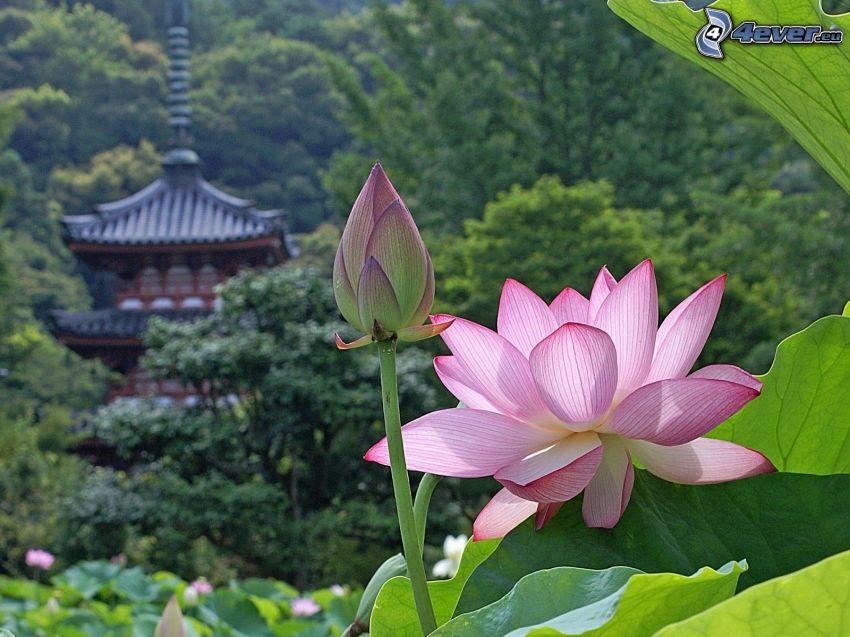 rosa blomma, kinesiskt hus, skog