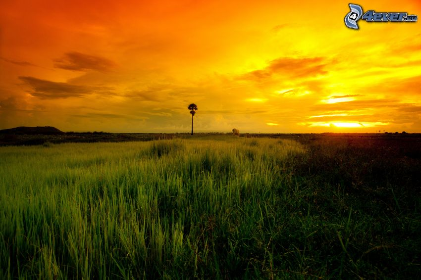 savann, solnedgång, gul himmel