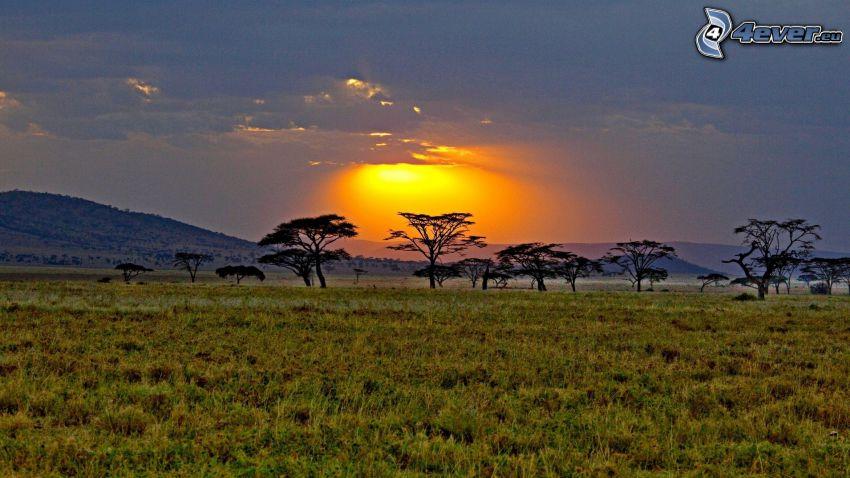 savann, solnedgång, träd