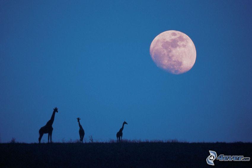 silhuetter av giraffer, Månen