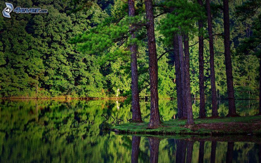 sjö, barrträd, skog