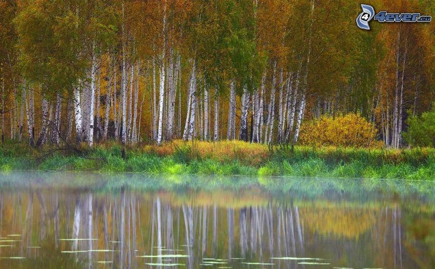 sjö, gula träd, björkar