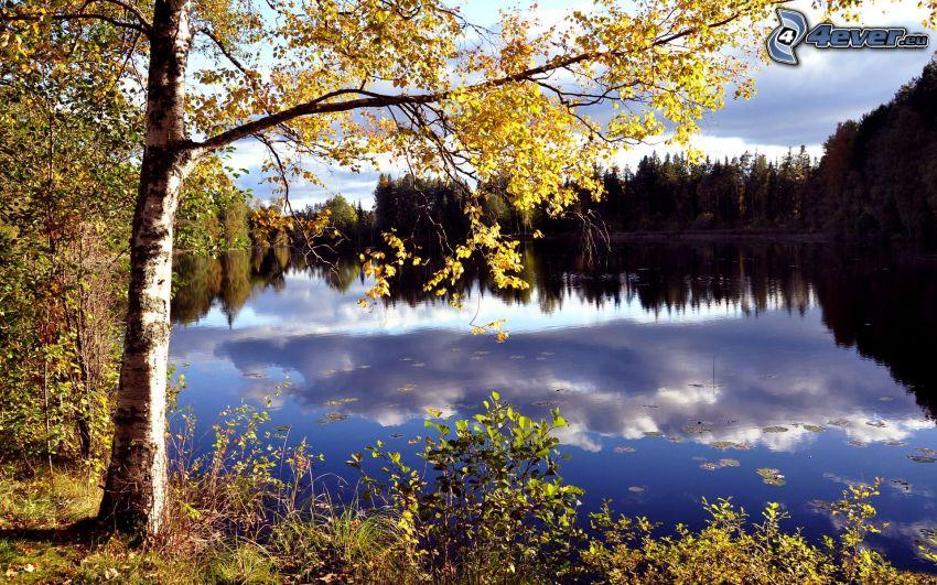 sjö, gult träd, björk, spegling