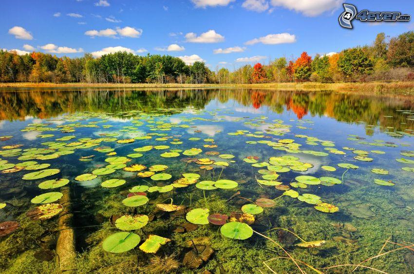 sjö, näckrosor, färggranna träd