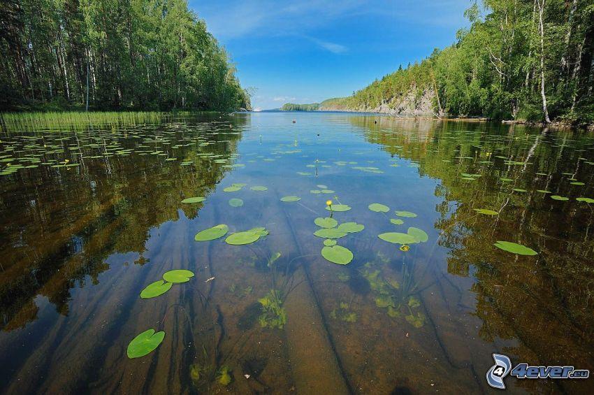 sjö, näckrosor, lövträd