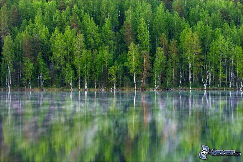 sjö i skogen, björkar, spegling