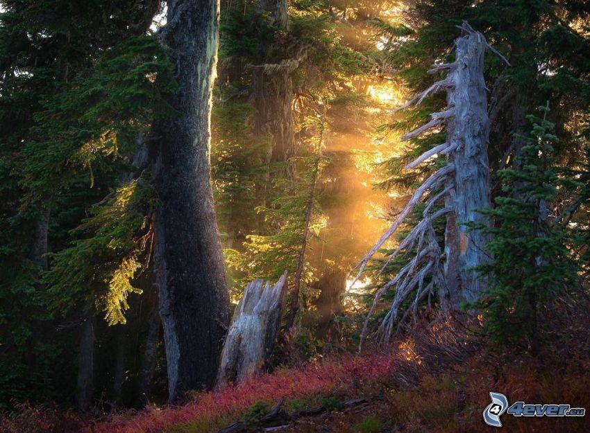 skog, barrträd, solstrålar, uttorkade träd