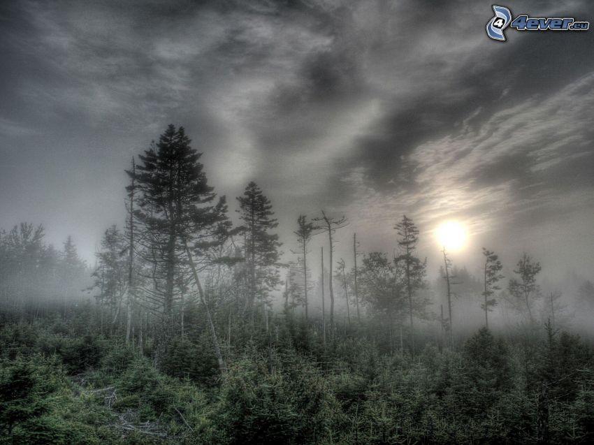 skog, dimma, svag sol