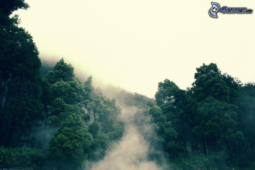 skog, dimma