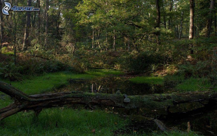 skog, grönska, bäck