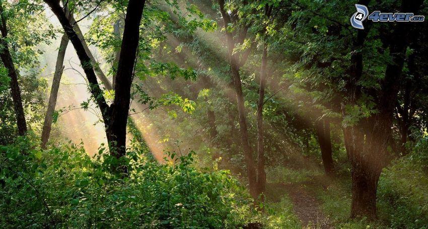skog, grönska, solstrålar