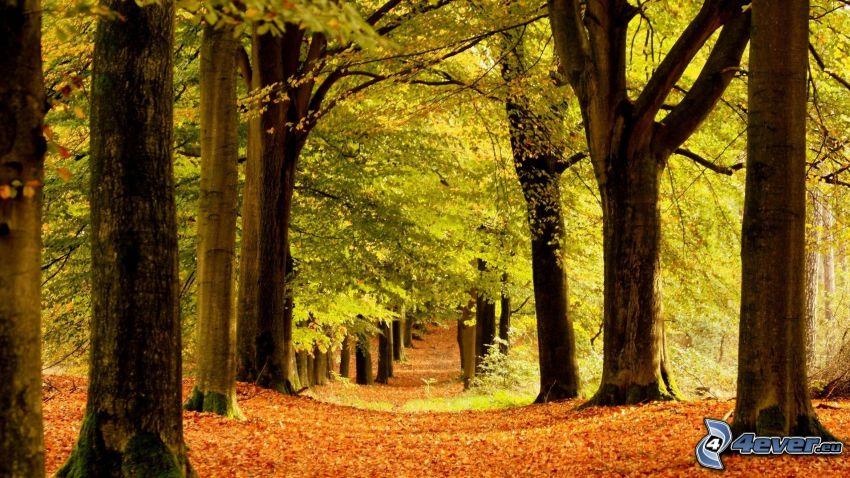 skog, lövträd, höstlöv