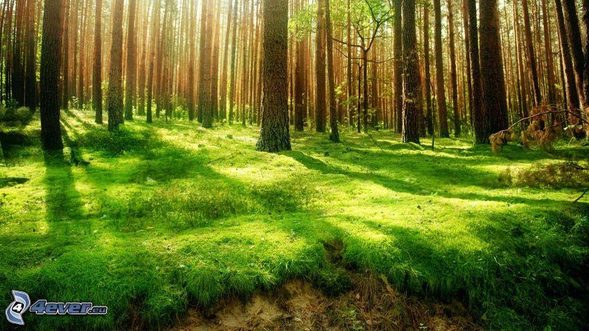 skog, mossa, solstrålar