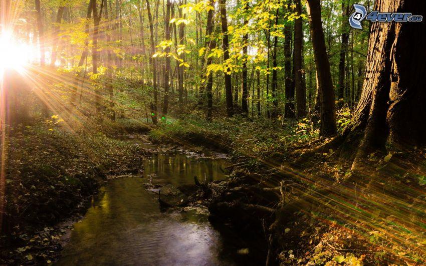 skog, solstrålar, bäck