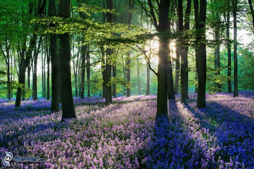 skog, solstrålar, lila blommor