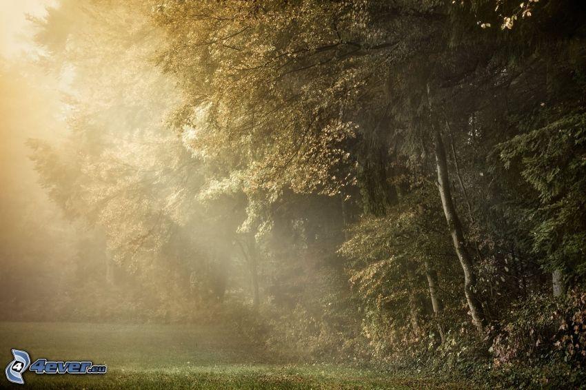 skog, solstrålar, träd