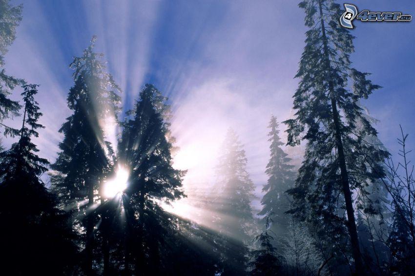 skog, solstrålar