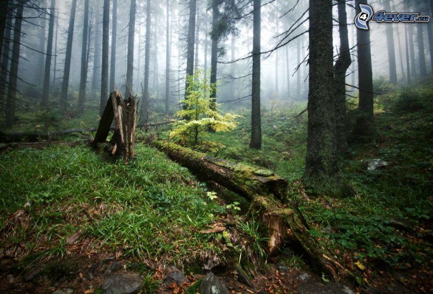 skog, stubbe, mossa, gräs, barrträd, dimma