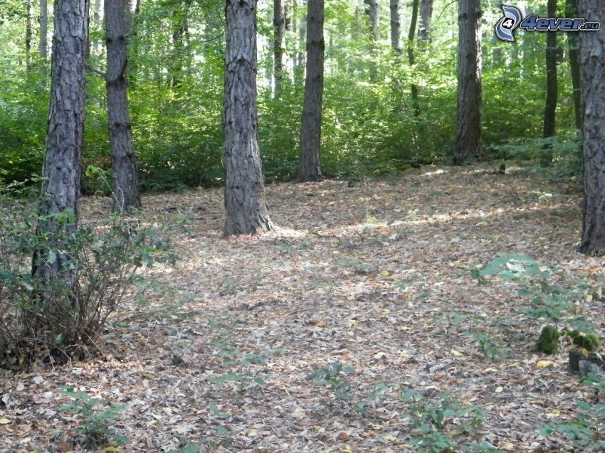 skog, träd, tall, löv