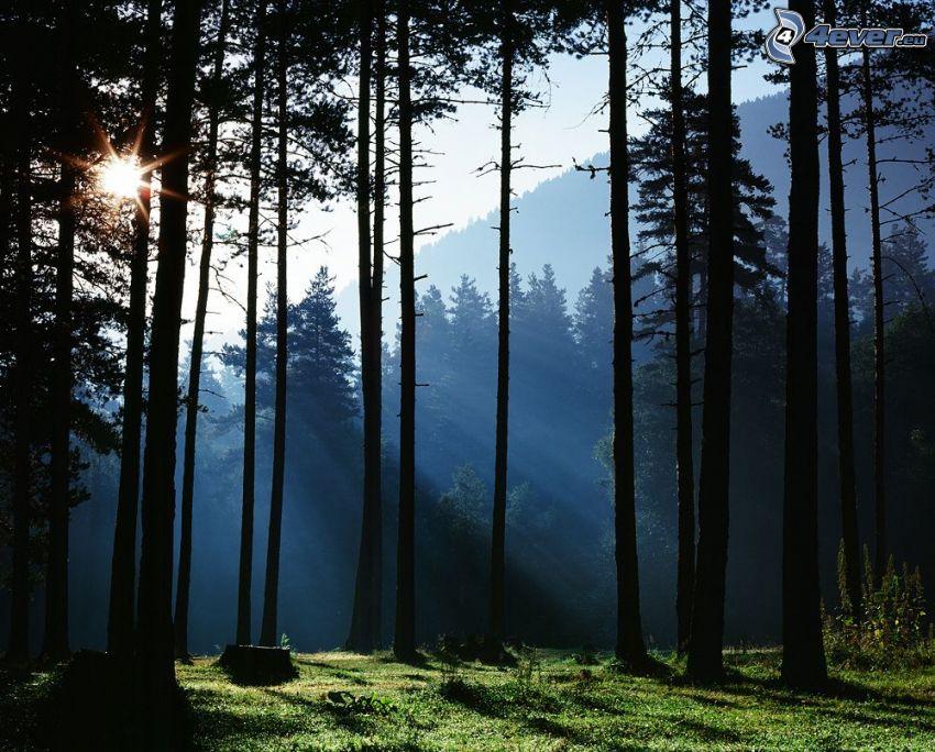 skog, trädstammar, solstrålar