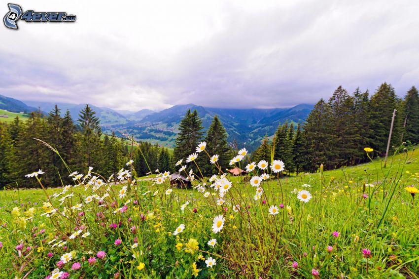 skogar och ängar, bergskedja, prästkragar