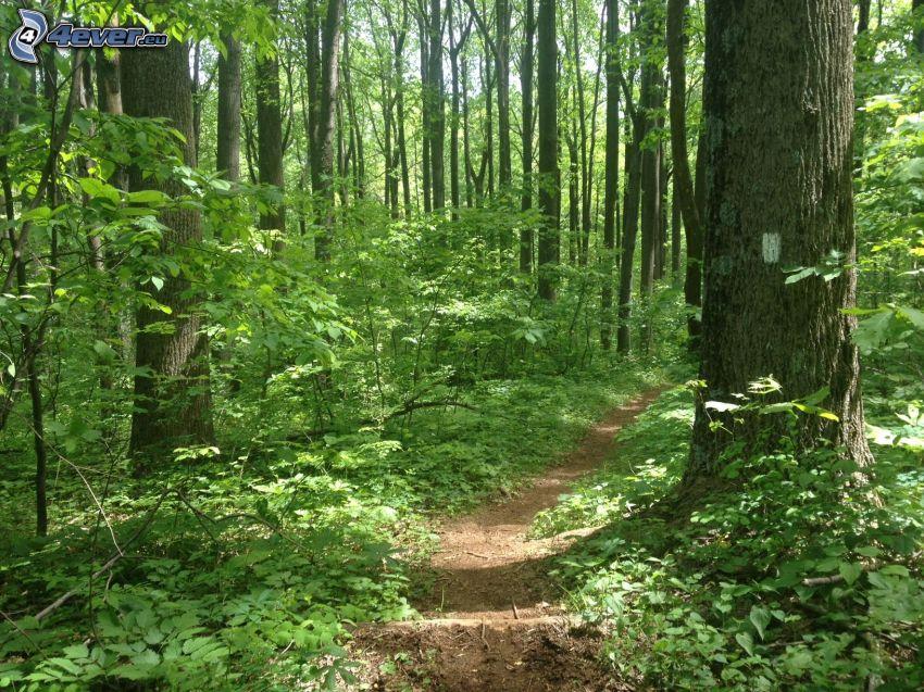 skogsstig, gröna träd